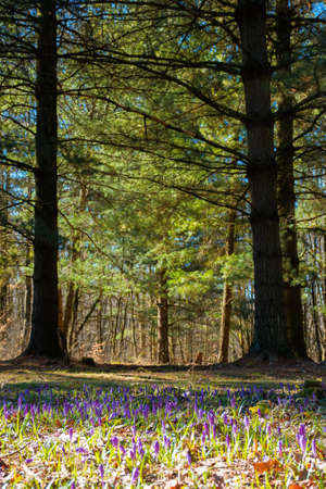 forest glade nature background in spring. crocus flowers on the glade in sunlight. trees in the blurred distance. sunny weather Stock Photo