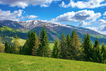 stunning mountain landscape. beautiful alpine nature view with spruce forest. grassy meadow on the hill. fluffy clouds on a blue sky above the distant ridge and valley.