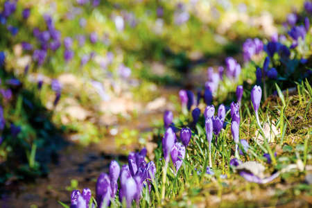 purple crocus flower blooming. beautiful nature scenery in the park. sunny weather. close up shot with shallow depth of field