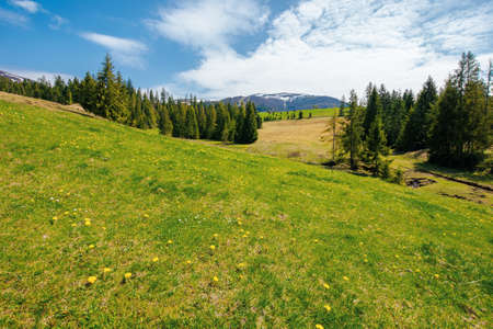spruce trees on the grassy pasture. snow capped ridge in the distance. beautiful countryside rural landscape on a sunny day Stock Photo