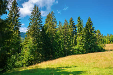 fir forest on the green grassy meadow. beautiful mountain landscape in summertime. good sunny weather with fluffy clouds on the sky at noon. carpathian countryside in mid summer
