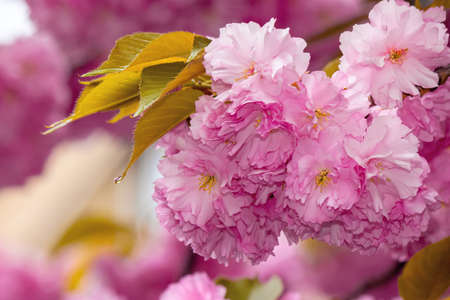 blooming pink flowers of sakura. cherry blossom season in springtime. close up nature background Stock Photo