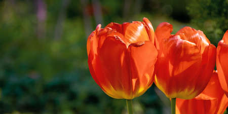 red tulips in the garden postcard. blooming flowers on a sunny day in spring. beautiful nature background. celebration concept Stock Photo