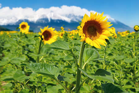 closeup of sunflower field in summer. blurred background of snow capped mountain ridge in the distance Stock Photo