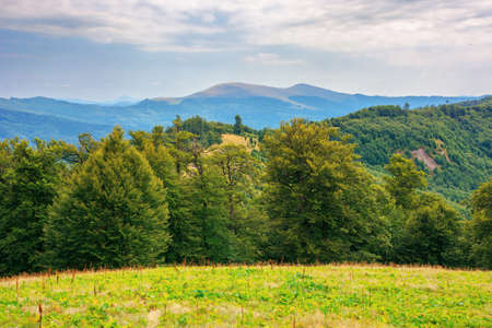 beech trees on the grassy hill. beautiful nature scenery in mountains. carpathian summer landscape in afternoon Stock Photo