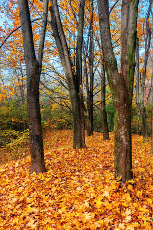 sunny autumn landscape in the woods. branches in colorful foliage. ground covered with fallen leaves. seasonal change of nature. warm and dry weather Stock Photo