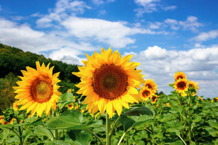 sunflower closeup in the field. beautiful agricultural scenery in summertime. clouds above the horizon. wonderful scenery with blooming yellow flowers