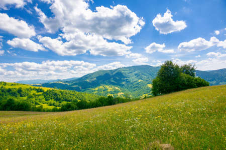 trees on the meadow in summer with herbs on the pasture. beautiful view in to the distant mountain landscape beneath a blue sky with fluffy clouds