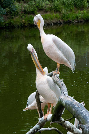 pelicans on the branch near water. birds cleaning their feathers Stock Photo