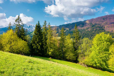 countryside landscape of carpathian mountains. trees on the grassy hill. wonderful nature scenery in spring time. fluffy clouds on the sky