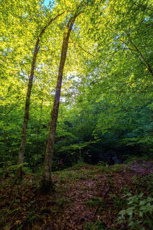 beech forest in summer. deciduous trees in morning light. beautiful nature background
