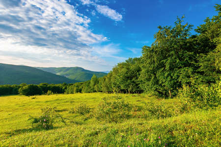 green grass on the meadow in mountains. sunny summer morning in carpathian countryside. rosebush on the hill. beech forest in the distance. clouds on the blue sky