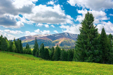 forest on the grassy hill. beautiful nature landscape in spring. snow capped mountains in the distance beneath a clouds on the blue sky. sunny weather Stock Photo
