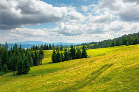 spruce trees in mountains. summer countryside landscape with grass on the hills. nature scenery on a sunny day with clouds on the sky. environment conservation concept