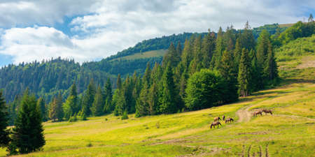 fir trees on the hills and meadows. summer mountain landscape in the forenoon. beautiful view of carpathian nature
