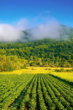 morning rural landscape in mountains. rows of lush green potatoes grow in the field. rustic agricultural scenery in morning light. organic crop vegetation. ukraine carpathian countryside in summer Stock Photo