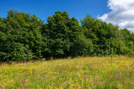 grassy glade among the beech forest. sunny nature scenery in summertime. landscape with fluffy clouds on the blue sky Stock Photo