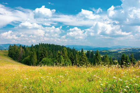 forest on the grassy hill. beautiful rural landscape of carpathian mountains in summer. bright sunny weather with fluffy clouds on the blue sky