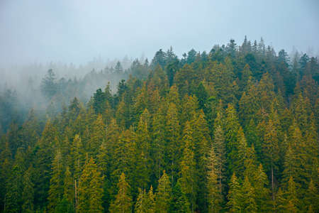 foggy nature scenery. coniferous forest on a cold autumn morning. mysterious atmosphere in rainy weather. surreal background of carpathian woodland
