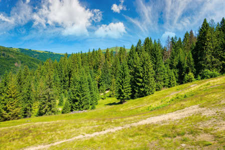 coniferous forest on the hill. summer landscape of carpathian mountains on a bright sunny forenoon Stock Photo