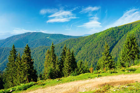 spruce forest on the hills. beautiful nature scenery of carpathian mountains. summer vacation and outdoor tourism concept. wonderful sunny weather