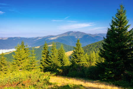 coniferous forest on the mountain hill. beautiful summer nature scenery in the morning. idyllic nature background Stock Photo