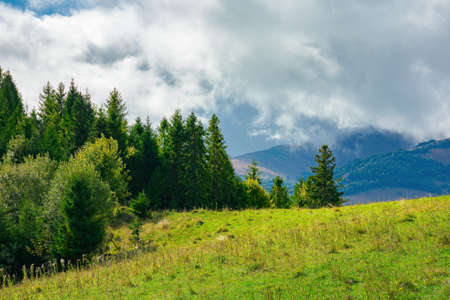 spruce forest on the grassy hillside meadow. carpathian mountain landscape on a cloudy summer day