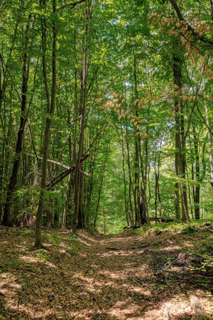 footpath through ancient beech forest in dappled light. beautiful nature of carpathians in summer Stock Photo