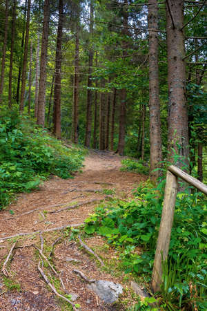 coniferous forest in summer. path among the trees. beautiful nature scenery on a sunny day