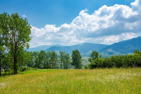 trees on the grassy alpine pasture in summer. borzhava mountain ridge in the distance. view from volovets valley. beauty in nature of ukrainian carpathians