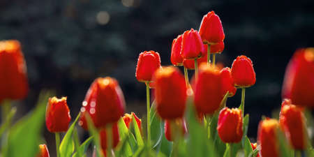 red tulips in the garden. blooming flowers on a sunny day in springtime. beautiful nature background