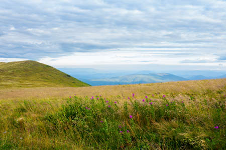 meadow with wild herbs in mountains. wonderful countryside landscape on a cloudy morning in late summer