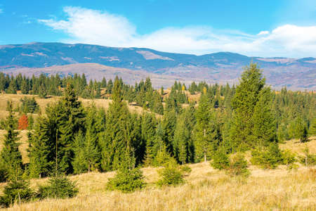 landscape with spruce trees on the rolling hills. apuseni mountains in the distance. dry and sunny autumn scenery. cluj country, romania Stock Photo