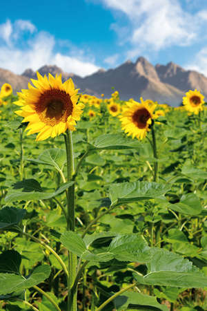 sunflower field in summer. blurred background of mountain ridge in the distance