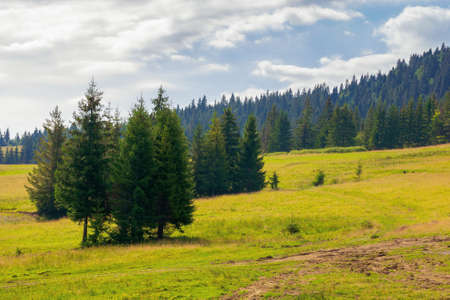fir trees on the hills and meadows. summer mountain landscape in the forenoon Stock Photo