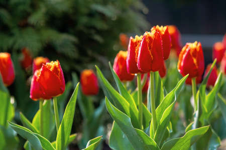 red tulips blooming in the garden. beautiful nature background. easter holidays concept Stock Photo