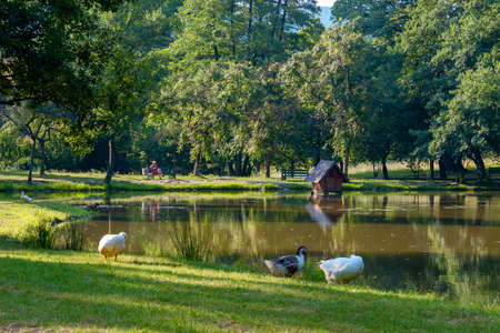 geese near the pond in park. countryside recreation zone with alcove on the shore. summer vacation concept