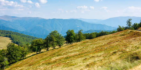 beech trees on the grassy hill. carpathian mountain landscape on a bright day in early autumn. wonderful nature scenery in sunny weather. travel back country concept