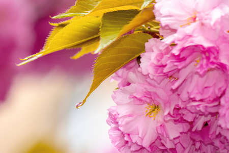 pink blossoming sakura tree. blooming cherry flowers on the branch in springtime. close up botanical background