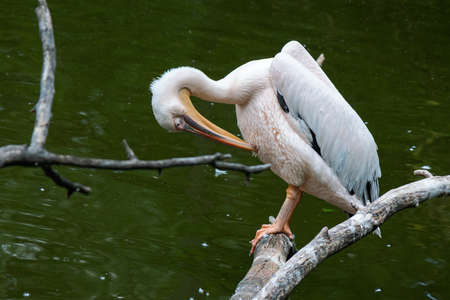 pelican on the branch near water. bird cleaning their feathers Stock Photo