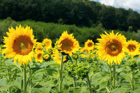 close up of sunflower field in summer. blurred background of forested hills Stock Photo
