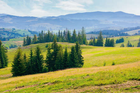 spruce forest on the hills and meadows. summertime mountain landscape in the morning