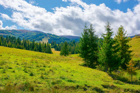 mountainous rural countryside on a sunny day. spruce trees on the grassy meadow. warm September weather with clouds on the sky
