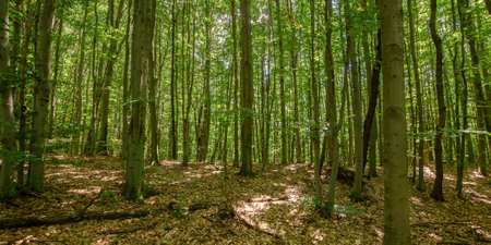 dense beech forest in summer. beautiful nature environment on a sunny day. tall trees in green foliage Stock Photo