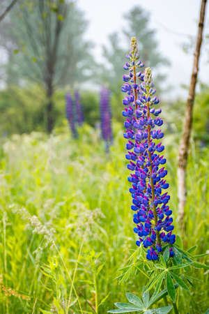 purple lupine flowers in dew. beautiful close up of nature background on a foggy morning