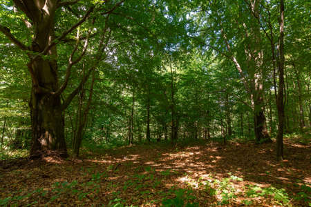 deciduous beech forest in summer. beautiful nature background on a sunny day. scenery with tall trees in green foliage Stock Photo