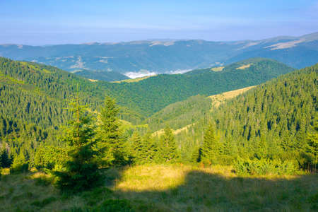 coniferous forest on the steep hill. view in to the distant valley with fog and Svydovets ridge beneath a blue sky. wonderful summer landscape on a sunny weather in carpathian mountains