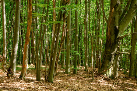 beech forest landscape in summer. beautiful nature outdoor on a sunny day. tall trees in green foliage