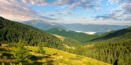 beautiful mountain landscape at sunrise. spruce trees on the steep hills. stunning summer scenery of carpathians with gorgeous cloudscape on the blue sky Stock Photo