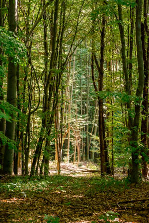 beech forest in summer. bright nature outdoor on a sunny day. tall trees in green foliage Stock Photo